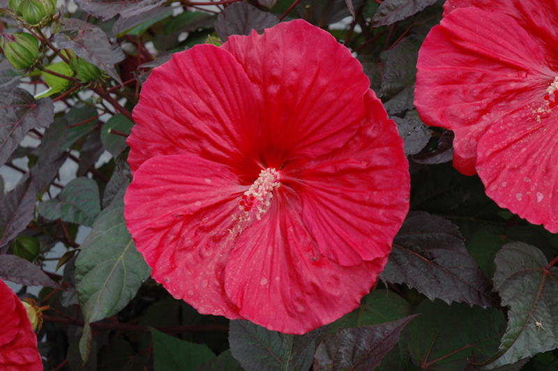 Mars Madness Hibiscus At Sargent S Nursery
