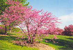 Northern Strain Redbud (Cercis canadensis 'Northern Strain') at Sargent's Nursery