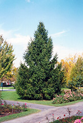 Norway Spruce (Picea abies) at Sargent's Nursery