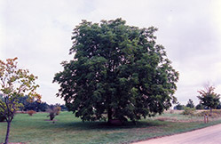 Black Walnut (Juglans nigra) at Sargent's Nursery