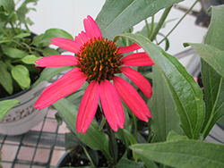 Glowing Dream™ Coneflower (Echinacea 'Glowing Dream') at Sargent's Nursery