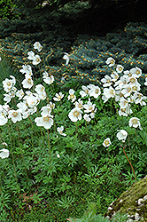 Windflower (Anemone sylvestris) at Sargent's Nursery