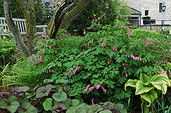 Common Bleeding Heart (Dicentra spectabilis) at Sargent's Nursery