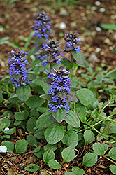 Caitlin's Giant Bugleweed (Ajuga reptans 'Caitlin's Giant') at Sargent's Nursery