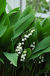 Lily-Of-The-Valley (Convallaria majalis) at Sargent's Nursery