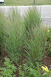 Shenandoah Reed Switch Grass (Panicum virgatum 'Shenandoah') at Sargent's Nursery