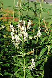 Culver's Root (Veronicastrum virginicum) at Sargent's Nursery