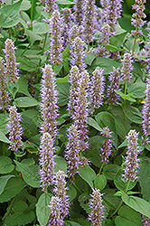 Blue Fortune Anise Hyssop (Agastache 'Blue Fortune') at Sargent's Nursery