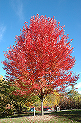 Autumn Blaze Maple (Acer x freemanii 'Jeffersred') at Sargent's Nursery