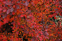 Rose Glow Japanese Barberry (Berberis thunbergii 'Rose Glow') at Sargent's Nursery