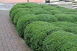 Chicagoland Green Boxwood (Buxus 'Glencoe') at Sargent's Nursery