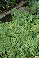 Sensitive Fern (Onoclea sensibilis) at Sargent's Nursery