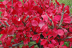 Compact Winged Burning Bush (Euonymus alatus 'Compactus') at Sargent's Nursery