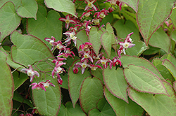 Bishop's Hat (Epimedium x rubrum) at Sargent's Nursery
