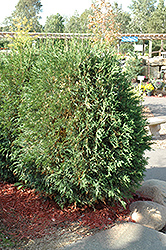 Techny Globe Arborvitae (Thuja occidentalis 'Techny Globe') at Sargent's Nursery