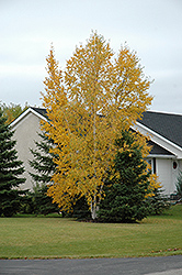 Clump Paper Birch (Betula papyrifera '(clump)') at Sargent's Nursery