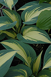 High Society Hosta (Hosta 'High Society') at Sargent's Nursery