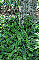 Baltic Ivy (Hedera helix 'Baltica') at Sargent's Nursery