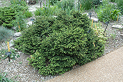 Pumila Norway Spruce (Picea abies 'Pumila') at Sargent's Nursery
