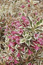 My Monet® Weigela (Weigela florida 'Verweig') at Sargent's Nursery