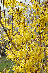 Northern Gold Forsythia (Forsythia 'Northern Gold') at Sargent's Nursery