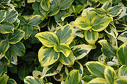Gold Prince Wintercreeper (Euonymus fortunei 'Gold Prince') at Sargent's Nursery