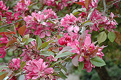 Crimson King Flowering Crab (Malus 'Crimson King') at Sargent's Nursery