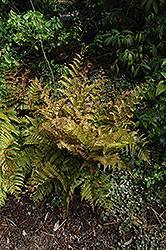 Autumn Fern (Dryopteris erythrosora) at Sargent's Nursery
