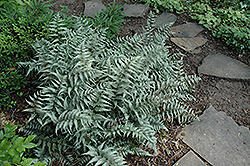 Japanese Painted Fern (Athyrium goeringianum) at Sargent's Nursery