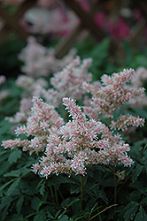 Sugarberry Astilbe (Astilbe 'Sugarberry') at Sargent's Nursery