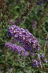 Nanho Blue Butterfly Bush (Buddleia davidii 'Nanho Blue') at Sargent's Nursery
