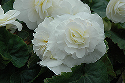 Nonstop® White Begonia (Begonia 'Nonstop White') at Sargent's Nursery