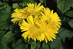 Yellow Gerbera Daisy (Gerbera 'Yellow') at Sargent's Nursery