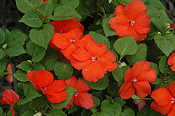 Super Elfin® Bright Orange Impatiens (Impatiens walleriana 'Super Elfin Bright Orange') at Sargent's Nursery