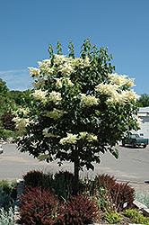 Snowdance™ Japanese Tree Lilac (Syringa reticulata 'Bailnce') at Sargent's Nursery