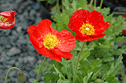 Spring Fever Red Poppy (Papaver nudicaule 'Spring Fever Red') at Sargent's Nursery