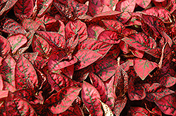 Splash Select Red Polka Dot Plant (Hypoestes phyllostachya 'Splash Select Red') at Sargent's Nursery