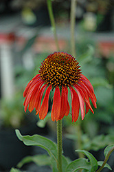 Firebird Coneflower (Echinacea 'Firebird') at Sargent's Nursery