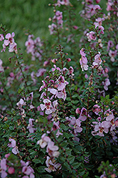 Archangel™ Pink Angelonia (Angelonia angustifolia 'Archangel Pink') at Sargent's Nursery