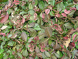 Purpleleaf Wintercreeper (Euonymus fortunei 'Coloratus') at Sargent's Nursery