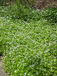 Sweet Woodruff (Galium odoratum) at Sargent's Nursery