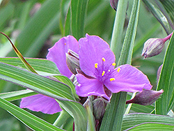 Concord Grape Spiderwort (Tradescantia x andersoniana 'Concord Grape') at Sargent's Nursery