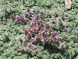 Wooly Thyme (Thymus pseudolanuginosis) at Sargent's Nursery