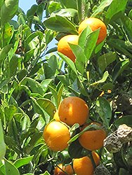 Calamondin (Citrofortunella x mitis) at Sargent's Nursery