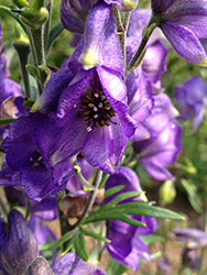 Azure Monkshood (Aconitum fischeri) at Sargent's Nursery