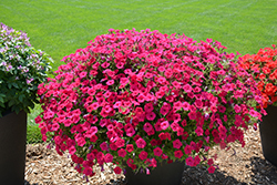 Supertunia Vista® Fuchsia Petunia (Petunia 'Supertunia Vista Fuchsia') at Sargent's Nursery