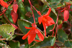 Bossa Nova® Red Shades Begonia (Begonia boliviensis 'Bossa Nova Red Shades') at Sargent's Nursery