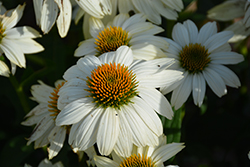 PowWow White Coneflower (Echinacea purpurea 'PowWow White') at Sargent's Nursery