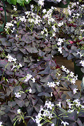 Purple Shamrock (Oxalis triangularis) at Sargent's Nursery