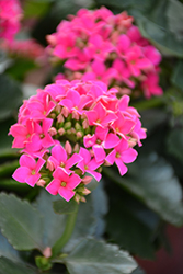 Hot Pink Kalanchoe (Kalanchoe blossfeldiana 'Hot Pink') at Sargent's Nursery